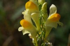 linaria-vulgaris