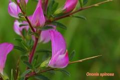 ononis-spinosa-2