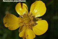 ranunculus-polyanthemos