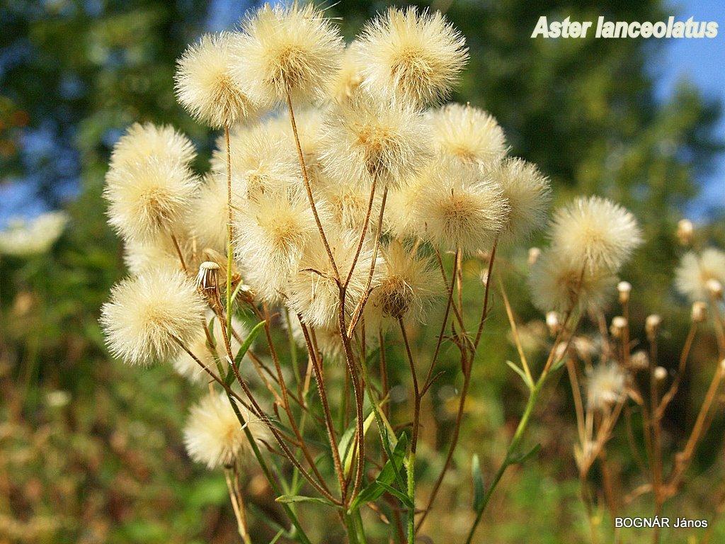 aster-lanceolatus