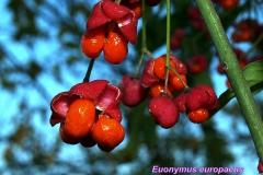 euonymus-europaeus-2