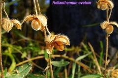 helianthemum-ovatum-2