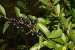 ligustrum-vulgare