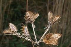 orlaya-grandiflora-1