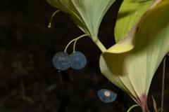 polygonatum-latifolium