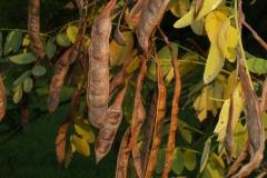 robinia-pseudo-acacia-1