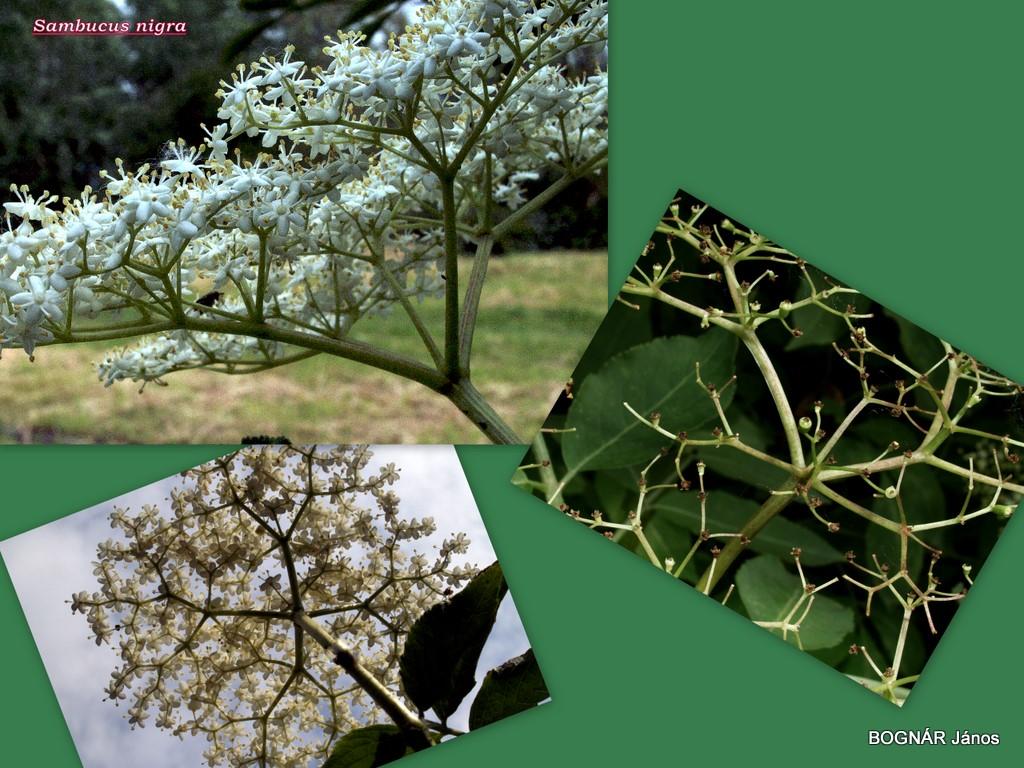 Fekete bodza összetett bog virágzat