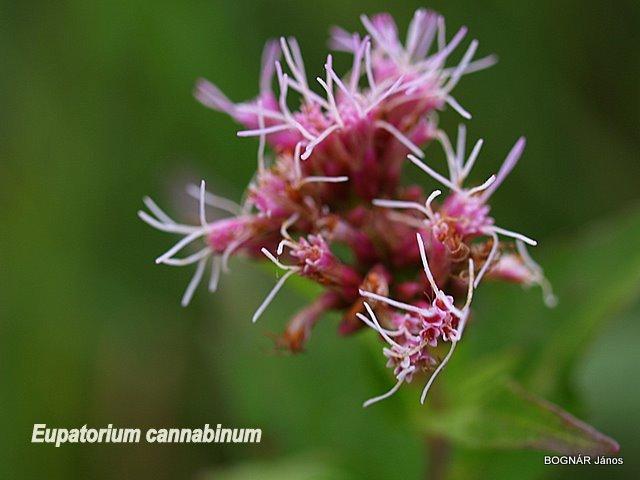Sédkender 3.  -  Csöves virágok, hosszan kinyúló bibeszálakkal.