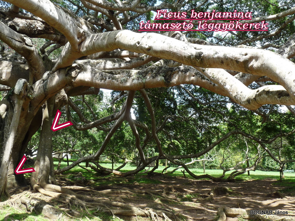 Ficus benjamina-Giant Java willow tree-6