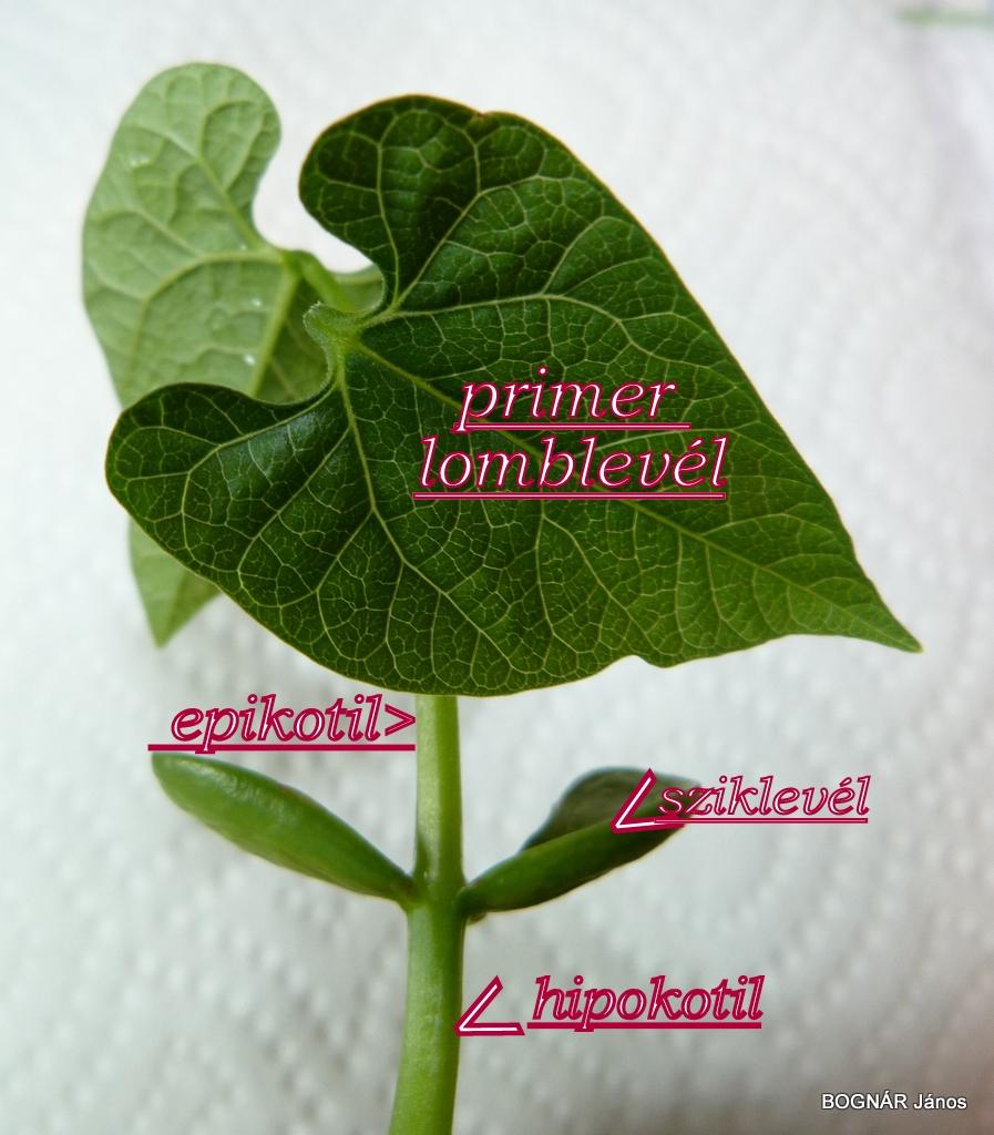 Bab csíranövény
