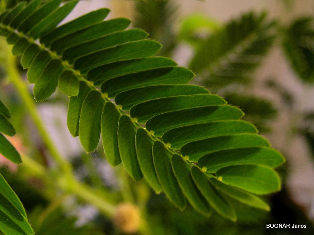 Pulvinusok Mimosa levél alapi részein