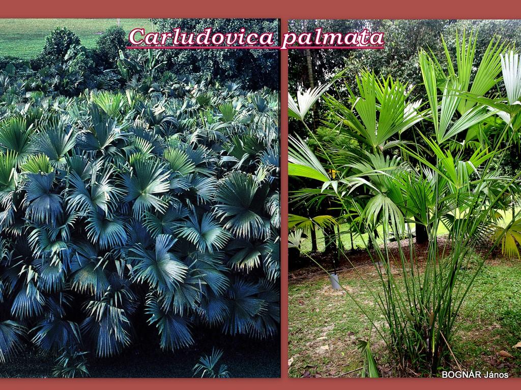 Panama hat plant8