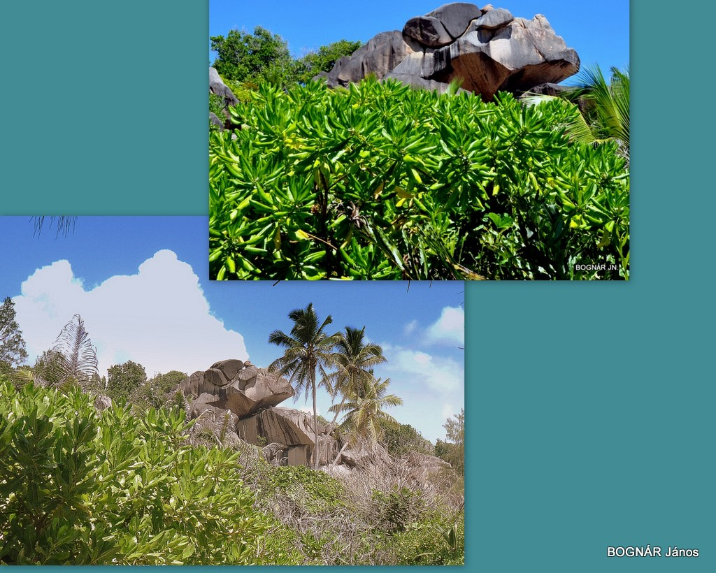 Glionettia sp - Mangrove vegetáció
