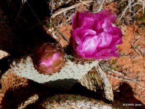 Opuntia basilaris flower