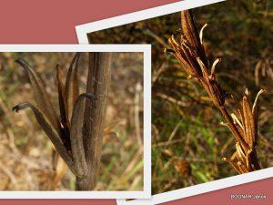 Oenothera1
