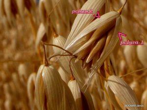 Zab/Avena/ - többvirágú füzérke termésekkel és a takaró pelyvalevelekkel