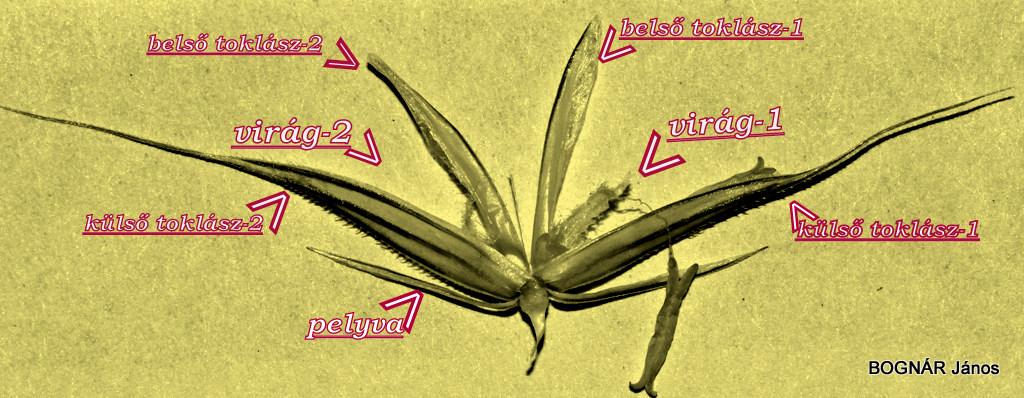 Egy kétvirágú füzérke szerkezete