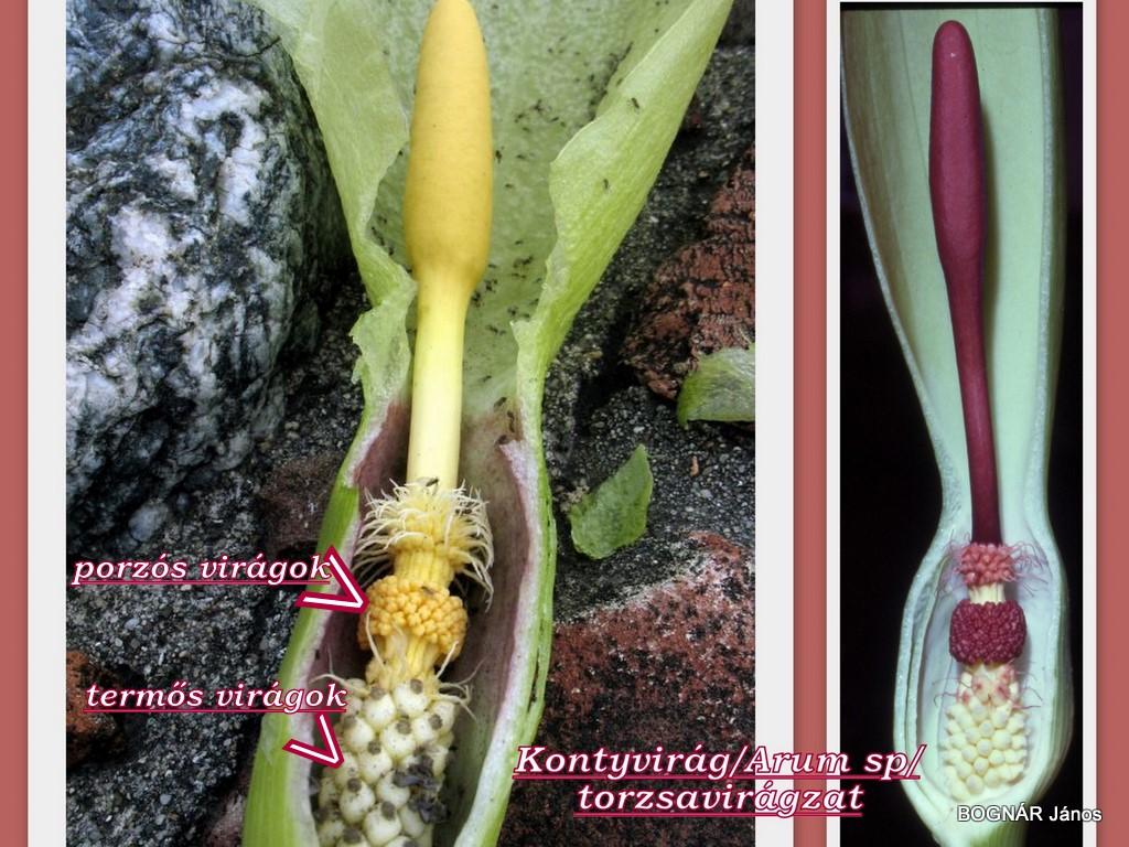 Arum sp spadix