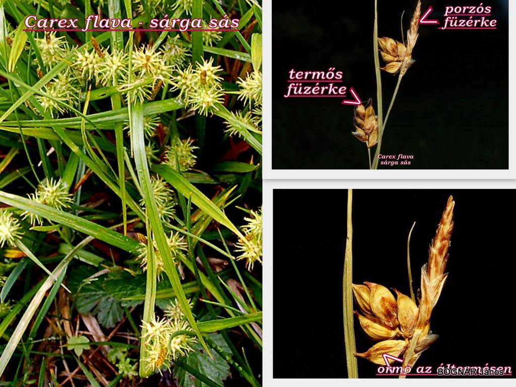 Carex flava heterostachyus füzérke konbinációk