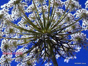 Vadmurok - összetett  virágzaternyő