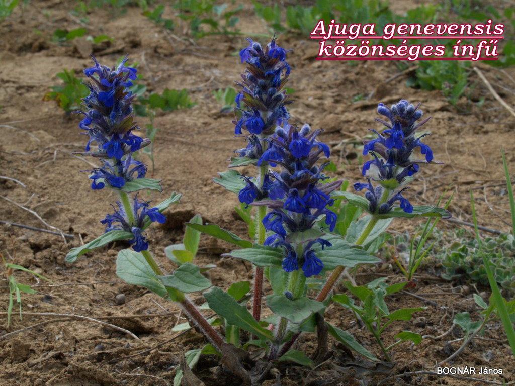 az ajakosokra/Lamiaceae/ jellemző verticillaszter virágzat
