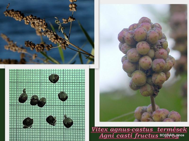 Vitex sgnus castus termések