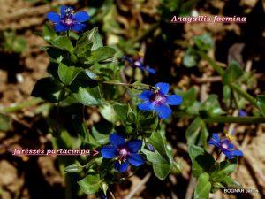 Anagallis foemina - kék oimpernel