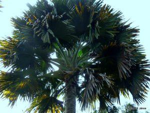 Corypha pálma - levélüstök