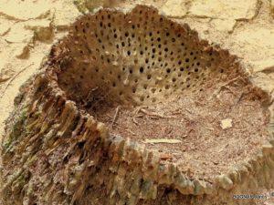 Pálmatörzs a szállitónyalábok nyomaival