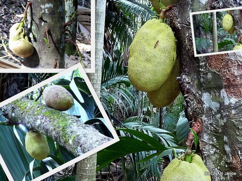 Nagytermetű kenyérfa-Jack fruit. Az áltermések súlya gyakran eléri a 10kg-ot.