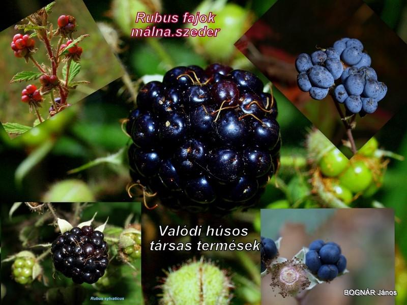 Rubus-agg.-málnaszeder
