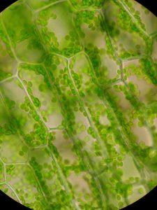 A mohák,harasztok, nyitva- és zárvatermőklencse alakú kloroplasztiszai
