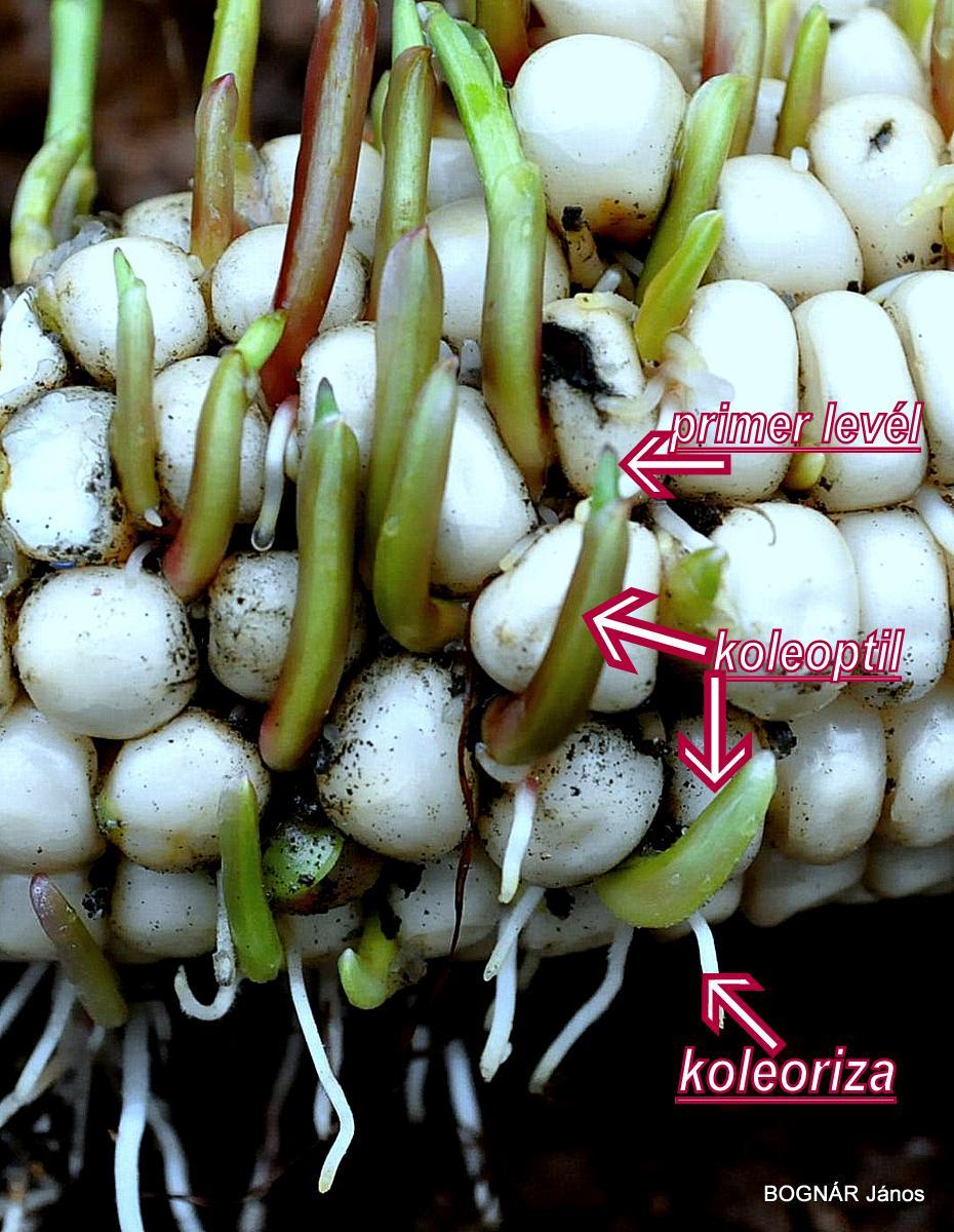 Koleoptil- koleoriza1