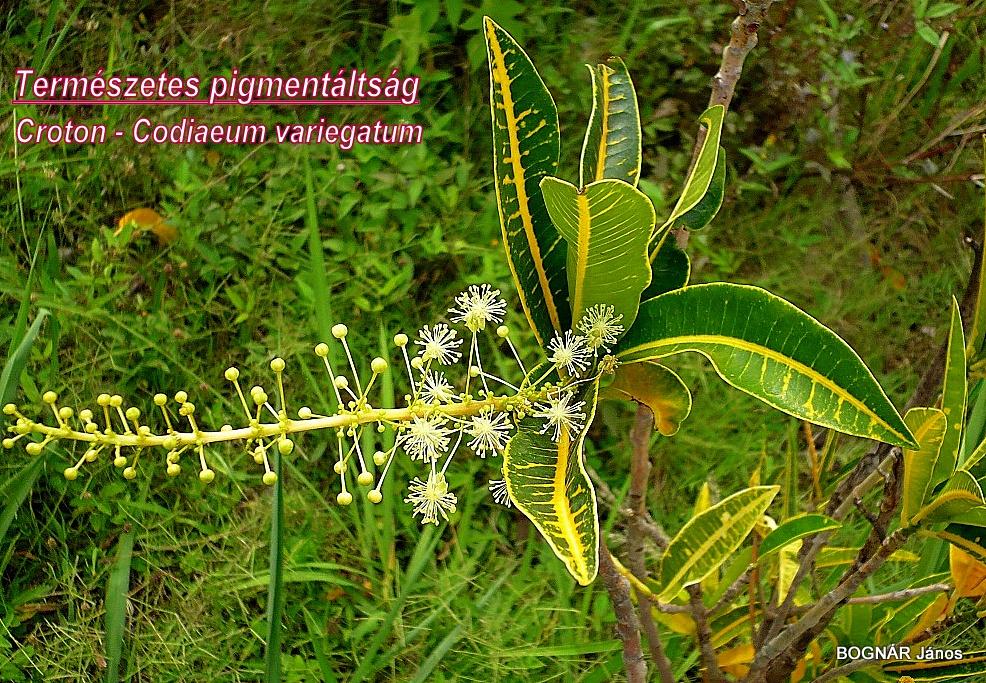 Croton term pigm
